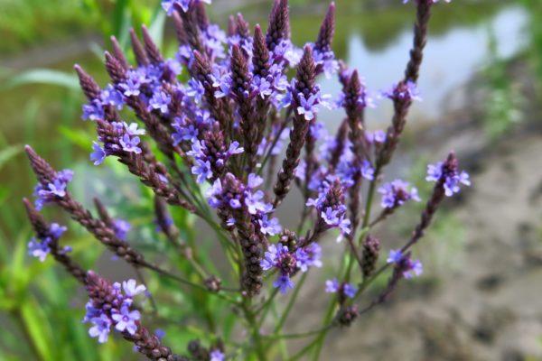 Blue vervain herb