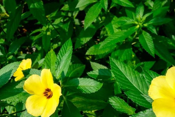 Herbs and their properties - this is Damiana