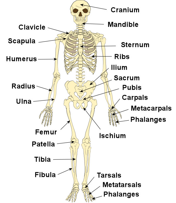 Bones in our body