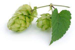 Hops herb - diuretic, sedative