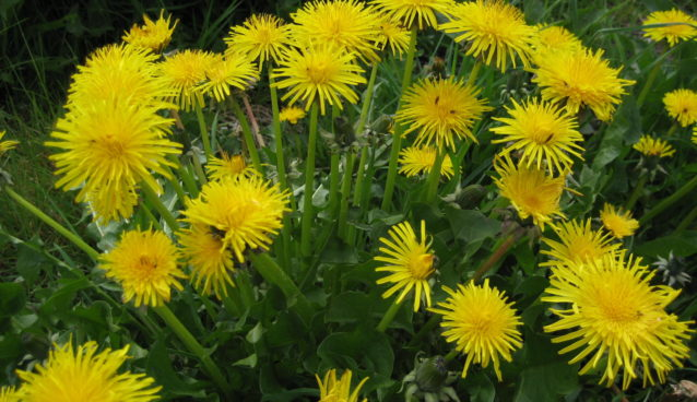 Dandelion greens and flowers