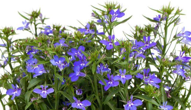 lobelia plant