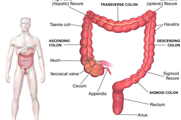 colon - digestive system