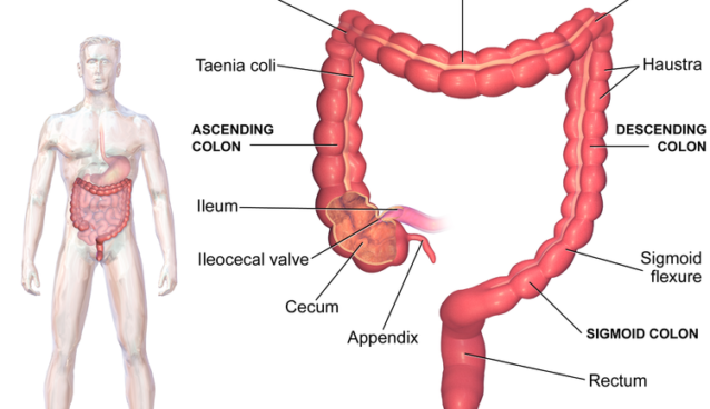 Diagrams Of The Large Intestine Colon Ital Is Vital