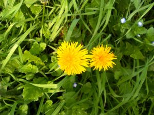 Dandelion and it's bright yellow flowers