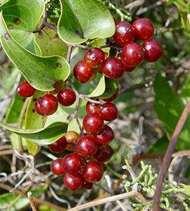 Sarsaparilla (Smilax spp.)