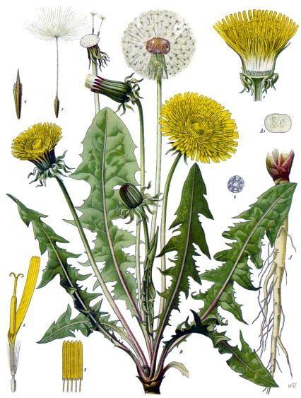 Dandelion - parts of the plant