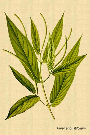 Piper angustifolium