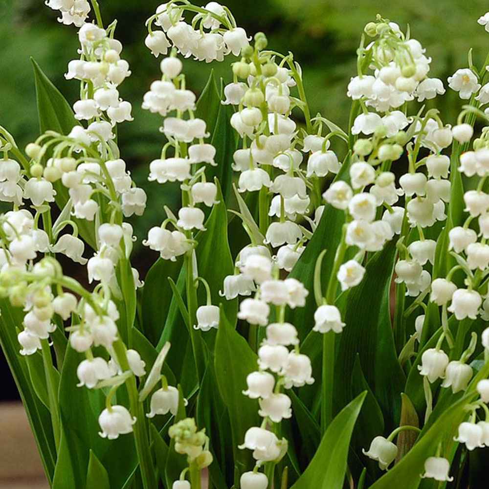 Lily Of The Valley Herbal Formula Ital Is Vital
