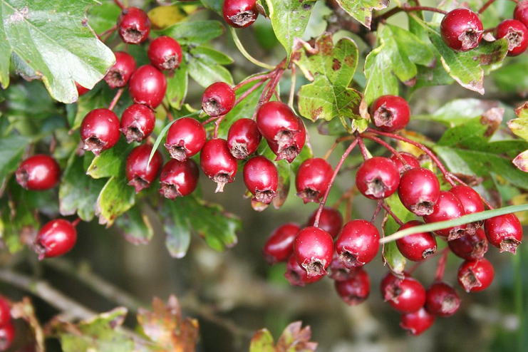 hawthorn berries for the heart