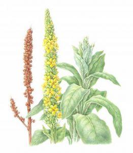 mullein botanical drawing