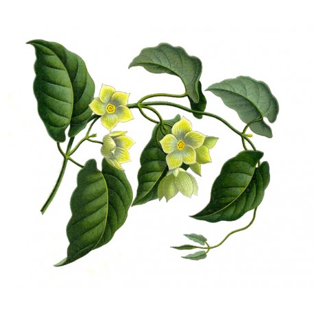 Marsdenia cundurango