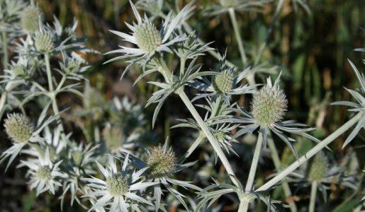 Eryngium heterophyll