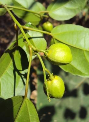 Croton (Pavana)