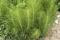 Equisetum arvense / Horsetail / Shave grass.