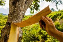 croton eleuteria (cascarilla)