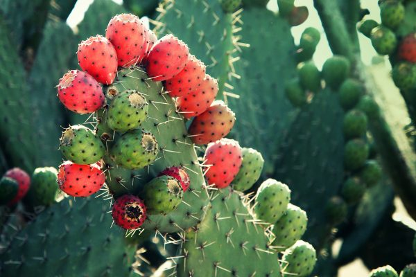 Mexican nopal plant (tuna, prickly pear) with red prickly pear fruit