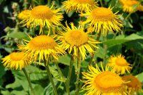Elecampane plant