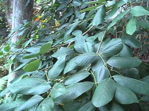 Jamaican Dogwood