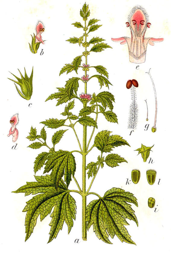 Motherwort illustration