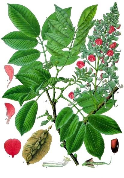 Piscidia piscipula (Jamaican Dogwood)