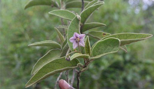 Solanum incanum - Bitter Apple