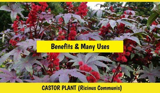 Castor plant (Castor oil, leaves, seeds))